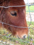 Die Shetlandinseln-Pony Lizenzfreie Stockfotos