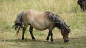 Die Shetlandinseln-Pony lizenzfreies stockfoto