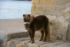 Die Shetlandinseln-Pony stockfotos