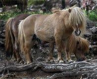 Die Shetlandinseln-Ponymann Lizenzfreie Stockfotografie
