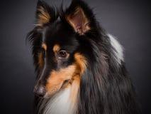 Die Shetlandinseln-Schäferhund lizenzfreie stockbilder