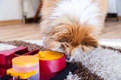 Die Shetlandinseln-Schäferhund auf einem Hundespielzeug lizenzfreies stockbild