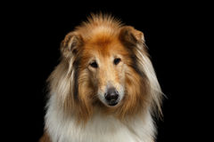 Die Shetlandinseln-Schäferhund-Hund auf schwarzem Hintergrund stockfoto