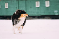 Die Shetlandinseln-Schäferhund, Sheltie, Collie Dog With Billowing In-Wind-langes Haar Stockbild