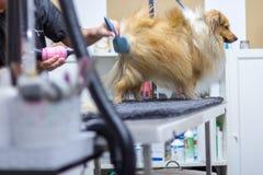 Die Shetlandinseln-Schäferhund sitzt auf Tabelle an einem Hundewohnzimmer Lizenzfreie Stockbilder