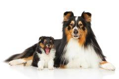 Die Shetlandinseln-Schäferhundfamilie Stockfoto