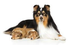 Die Shetlandinseln-Schäferhundfamilie Lizenzfreie Stockfotografie