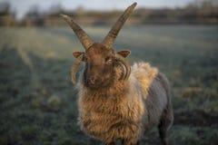 Die Shetlandinseln-Schafe Stockfotos