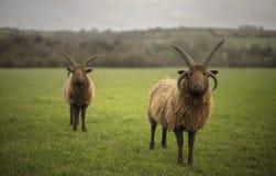 Die Shetlandinseln-Schafe Lizenzfreies Stockbild