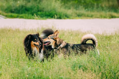 Die Shetlandinseln-Schäferhund, Sheltie, Collie Play With Mixed Breed-Medium Lizenzfreies Stockfoto