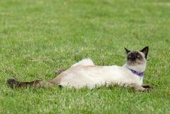 Die siamesische Katze Lizenzfreie Stockbilder