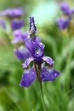 Die sibirische Iris nach einem Regen. Lizenzfreie Stockfotografie