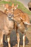Die sika Rotwild Stockfotografie