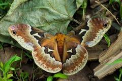 Die Silk Motte des Handschuhmachers; Hyalophora Gloveri lizenzfreies stockbild