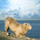 Die sinnlichen Schafe Stockbild