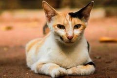 Die sitzende Haustier-Katze Stockfotos