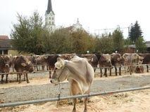Die Sitzung der cowherds Lizenzfreies Stockbild