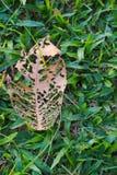 Die skelettartige Überrestporträtaufnahme eines Blattes, seinen Zerfall einzeln aufführend, bei der Fütterung seines grasartig-gr stockfoto