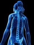 Die skelettartige Rückseite einer Frau stock abbildung