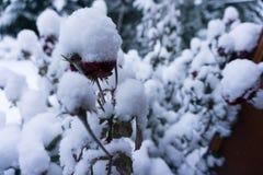 Die sneeuw superflower royalty-vrije stock fotografie