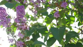 Die Sonne scheint durch die Blumen und die Blätter des Fliederbusches stock video