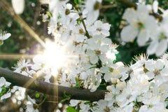 Die Sonne scheint durch den blühenden Baum des Frühlinges Hintergrund Kopieren Sie Platz stockbild