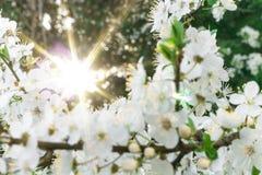 Die Sonne scheint durch den blühenden Baum des Frühlinges Hintergrund Kopieren Sie Platz stockfotografie