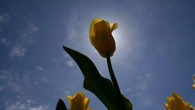 Die Sonne scheint durch die gelbe Tulpe stock footage
