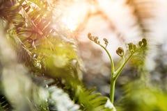 Die Sonne von Pteridium aquilinum Stockbilder