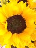 Die Sonnenblume Stockfoto