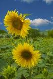 Die Sonnenblume Stockfotos
