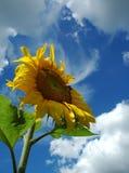 Die Sonnenblume. Lizenzfreie Stockfotos