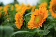 Die Sonnenblume Lizenzfreie Stockbilder