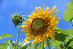 Die Sonnenblume Stockbild