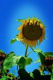 Die Sonnenblume Stockfotografie