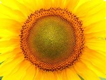 Die Sonnenblume lizenzfreies stockfoto