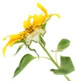 Die Sonnenblume halb und halb geschnitten Lizenzfreie Stockfotografie
