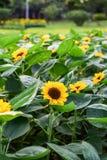 Die Sonnenblume, die herein dröhnt, graden lizenzfreies stockfoto
