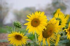 Die Sonnenblume im Freien in Thailand Stockbilder