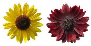 Die Sonnenblume lokalisiert auf Weiß mit einem Beschneidungspfad Lizenzfreies Stockfoto