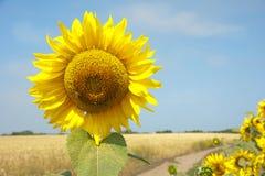 Die Sonnenblumeblüten Lizenzfreie Stockfotos