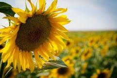 Die Sonnenblumen Lizenzfreies Stockbild