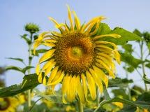Die Sonnenblumen im garden5 Lizenzfreie Stockfotos