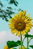 Die Sonnenblumen mit blauem Himmel lizenzfreies stockbild