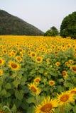 Die Sonnenblumenfelder lizenzfreie stockbilder