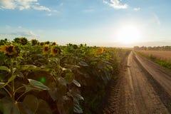 Die Sonnenblumenfelder auf dem links, das der Schotterweg im hor lässt stockfotos