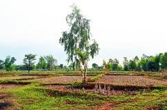 Die spärlichen Bäume, die wenig Schatten bereitstellen, werden während der Reisfelder in ländlicher Sakon- Nakhonprovinz in Nord- lizenzfreie stockfotografie