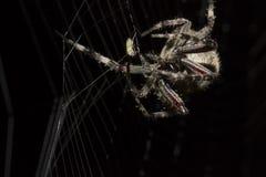 Die speisende Spinne Lizenzfreies Stockfoto