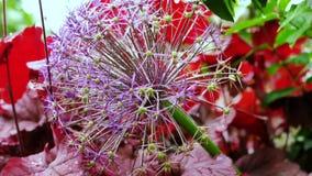 Die Spezies der kugelförmigen Art der Wildflowers beugen Globemaster Lizenzfreies Stockbild