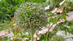 Die Spezies der kugelförmigen Art der Wildflowers beugen Globemaster Lizenzfreie Stockfotografie